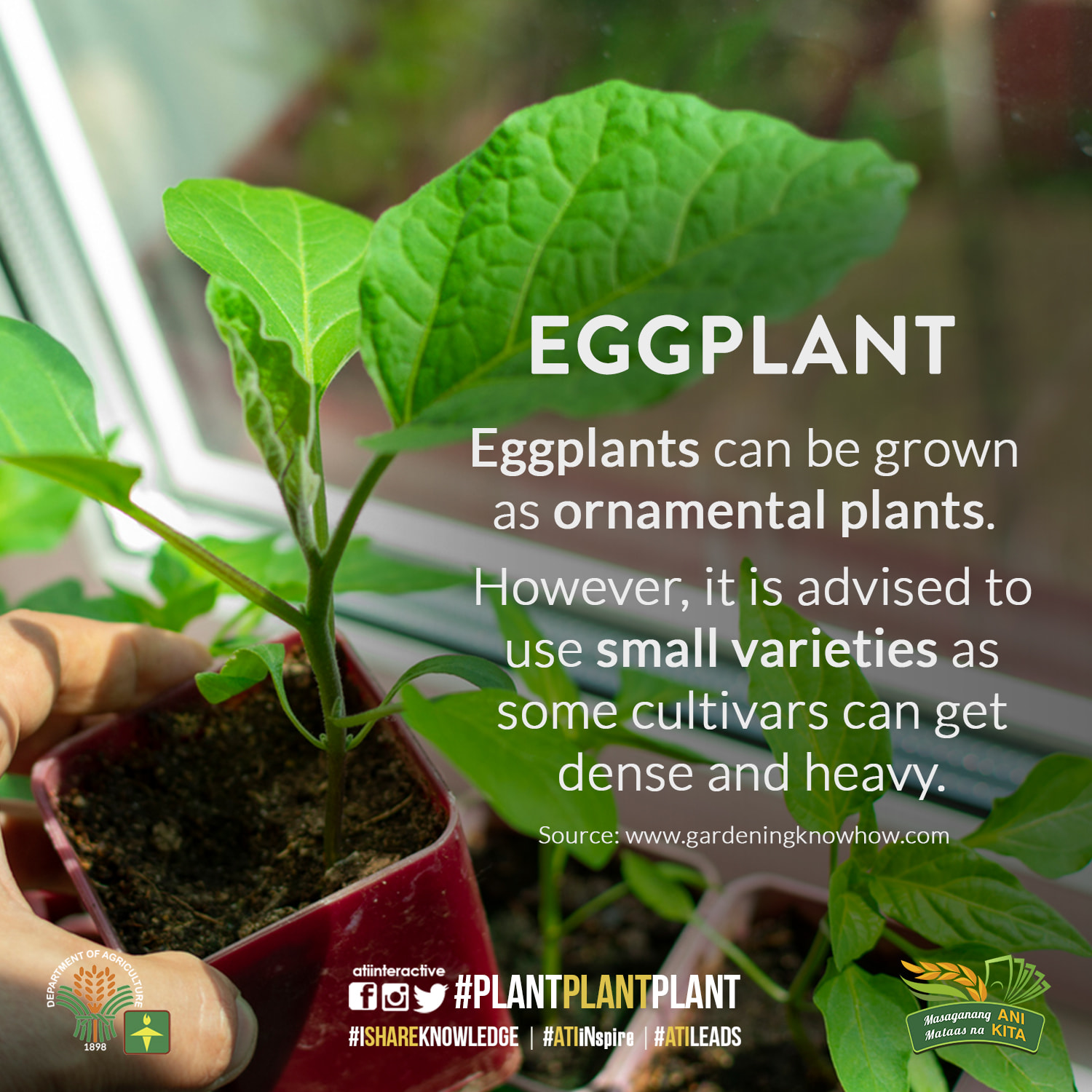 eggplant ornamental technotips